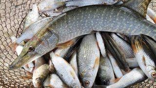 Как приготовить прикормку для рыбалки из кукурузной муки